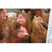 «Птицефабрика Зеленецкая» реализует кур-несушек в возрасте от 14-ти месяцев